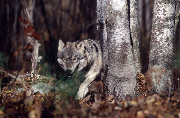 Gray_Wolf_Prowling_In_Forest_600